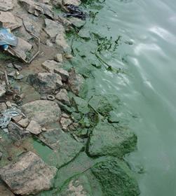 Figura 5 – Floração de Cianofíceas (Cianobactérias) na Represa Billings em 08/06/06. Fonte: CETESB