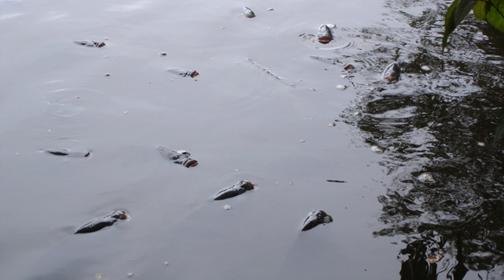 Figura 16 - Tilápias abocanhando a ar durante mortandade de peixes em lago do Parque Horto Florestal em 21/01/2007. (Foto: CETESB)