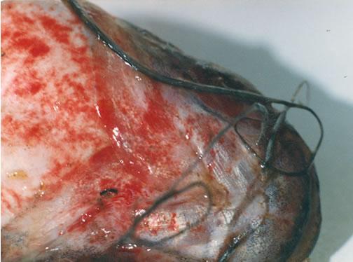 Figura 17 - Hemorragia em peixe vítima de ocorrência de mortandade. Foto: CETESB