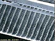 Concha de sílica de Pseudo-nitzschia sp